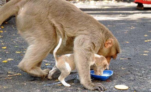 Обезьяна «усыновила» брошенного щенка и ухаживает за ним как настоящая мама