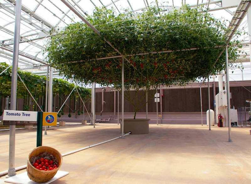 В Израиле вырастили помидорное дерево невероятных размеров