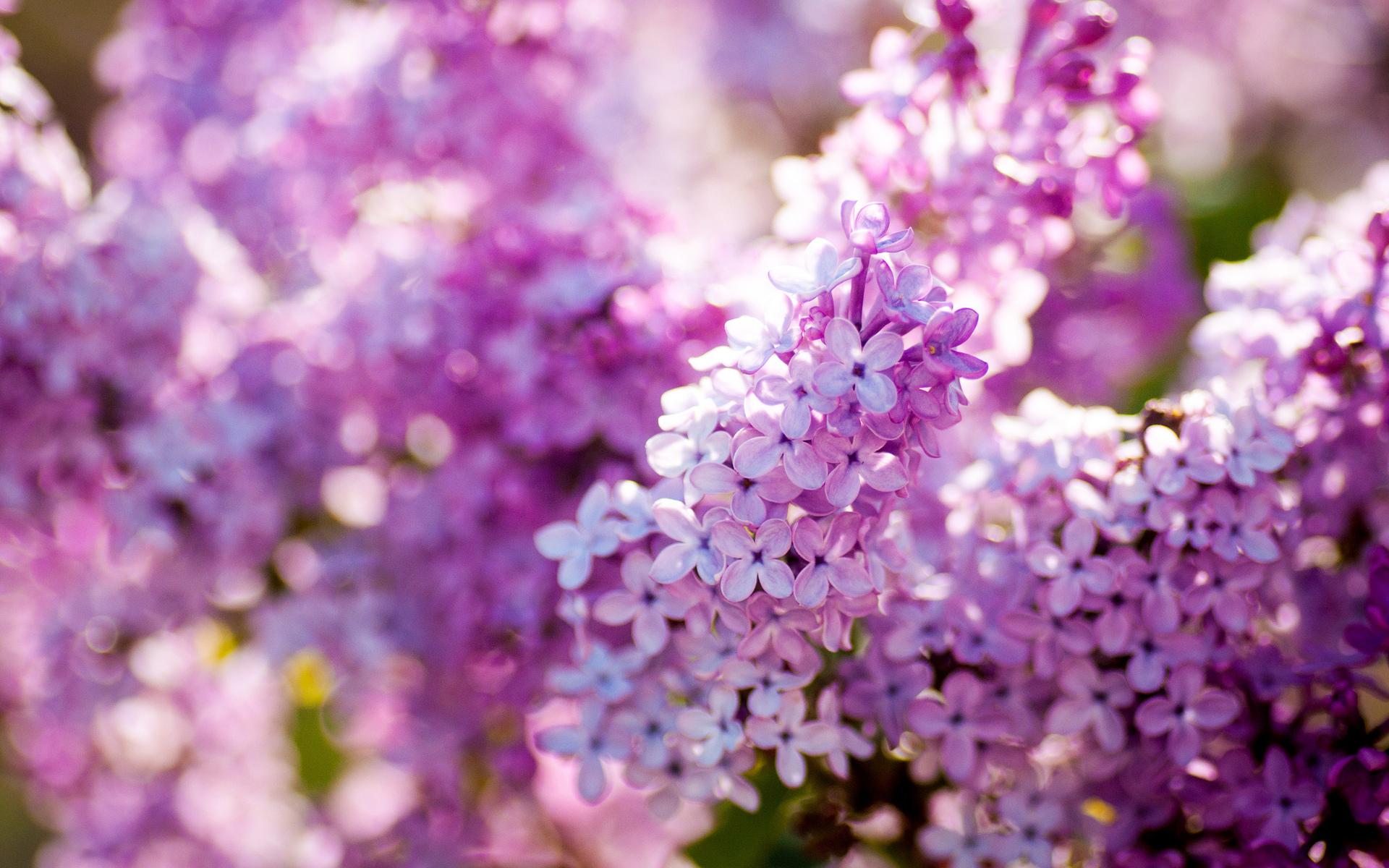Гадание на сирени: цветы подскажут, сбудется ли ваше заветное желание