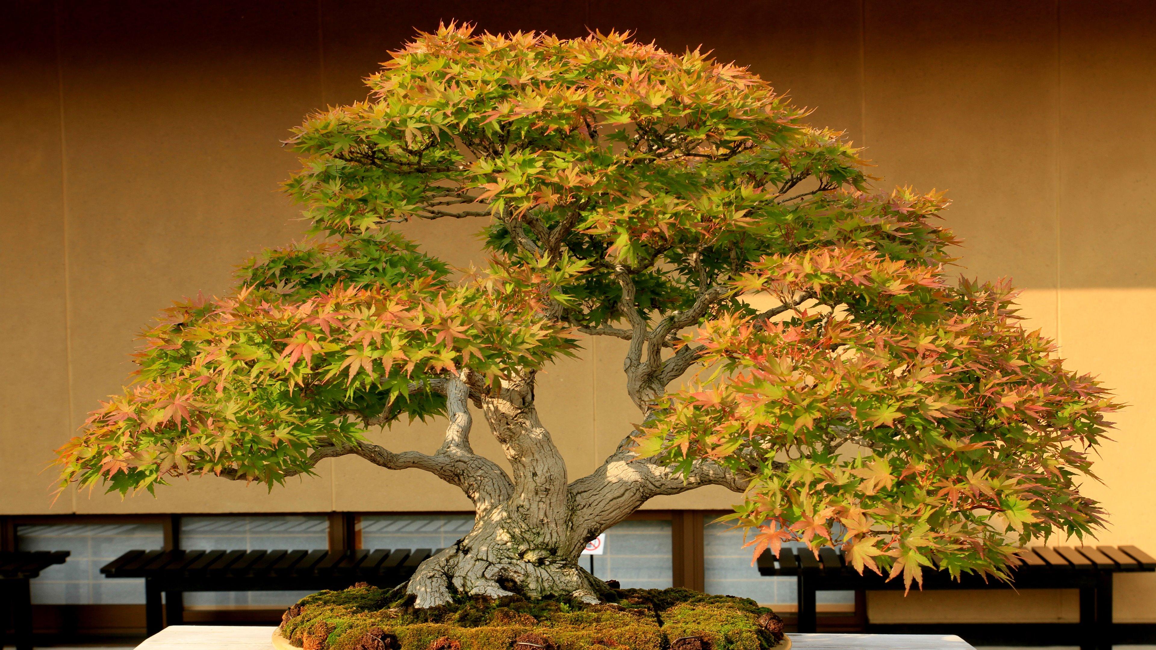 Тридцать самых красивых деревьев бонсай в мире