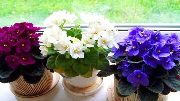 Три простых трюка для здоровья и красоты комнатных растений.(видео)