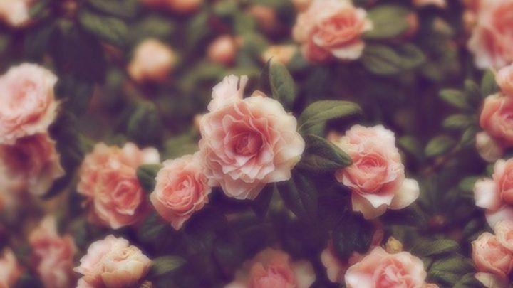 3 простых способа размножения роз
