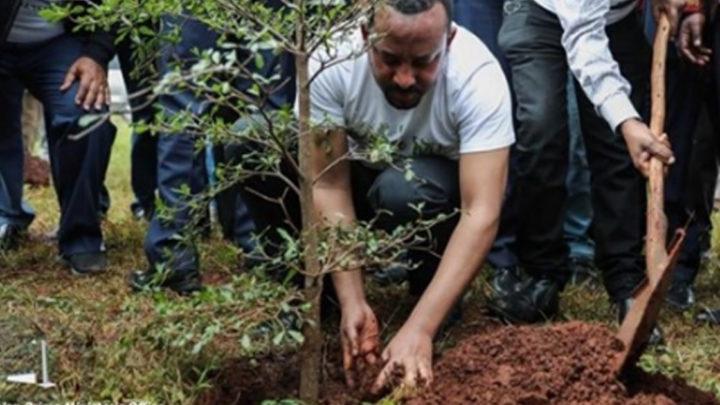 Эфиопия посадила 350 миллионов деревьев за 12 часов
